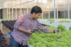 Panen Sayuran Organik Hidroponik