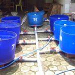 Peluang Usaha Bisnis Budidaya Ikan Lele dalam Drum Plastik