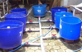 Peluang Usaha Bisnis Budidaya Ikan Lele dalam Drum / Tong