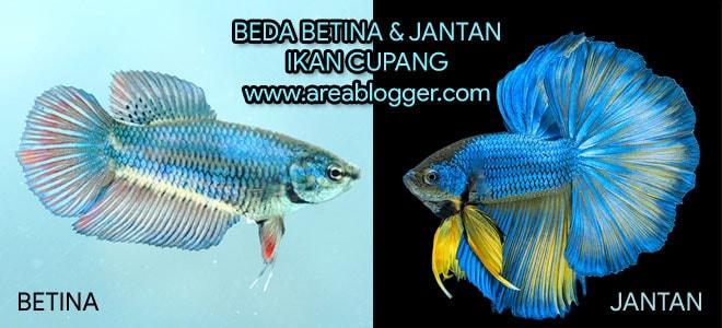Beda Ikan Cupang Jantan dan Betina