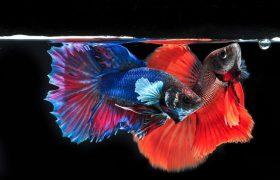 Cara Budidaya Ikan Cupang untuk Pemula Lengkap dengan Gambar