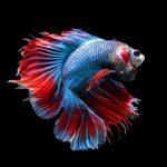 Cara Mempercantik Warna Sirip pada Ikan Cupang Hias