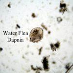 Cara Mudah & Murah Budidaya Kutu Air untuk Pakan Ikan