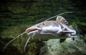 Hal Penting Terkait Ikan Lele yang Harus Diketahui Peternak Lele