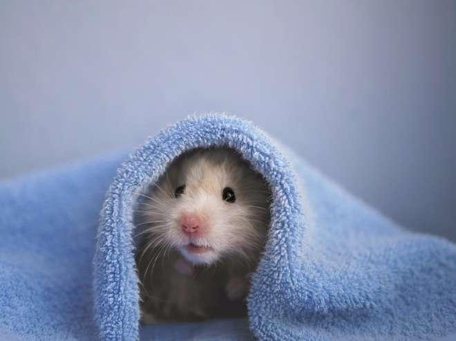 Makanan Hamster Selain Kuaci dan Takarannya