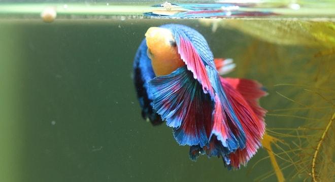 Ikan Cupang Kembung